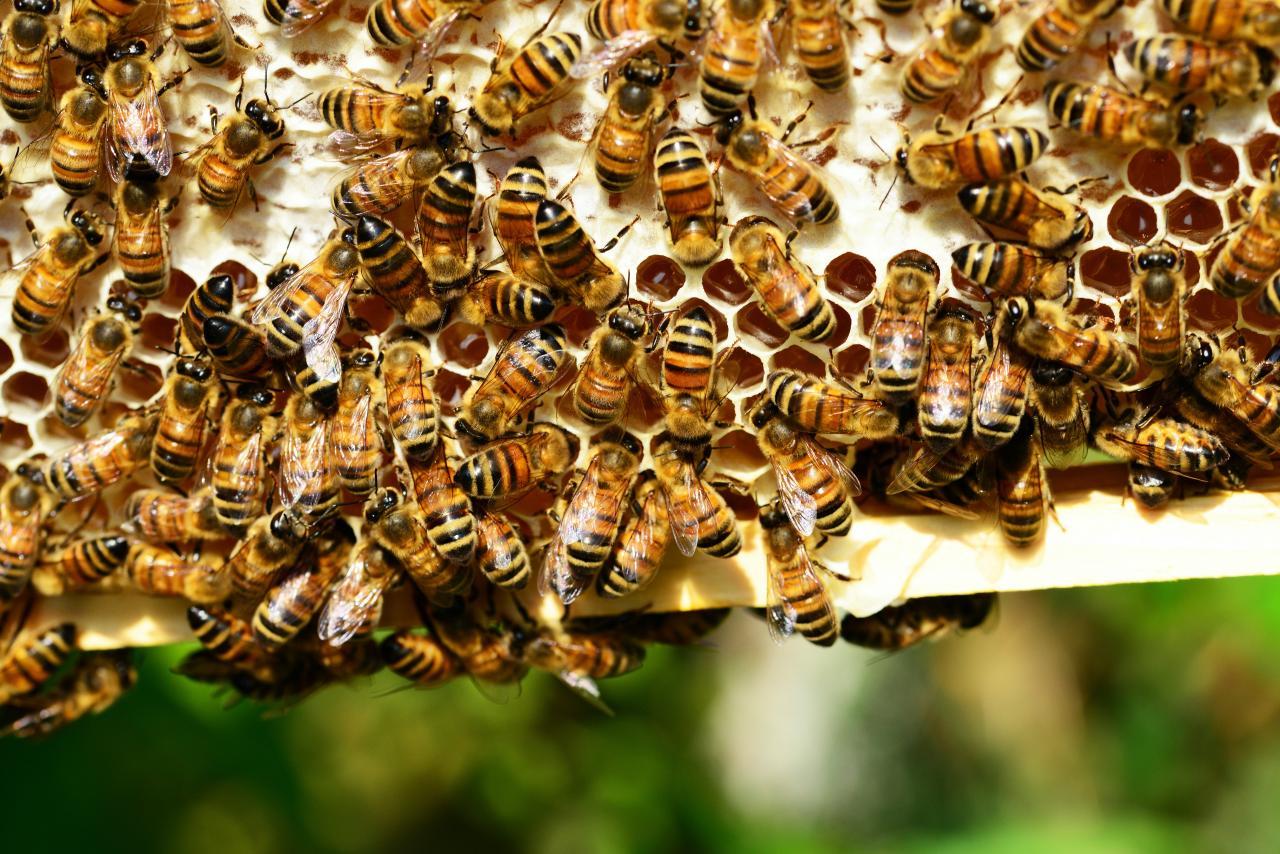 صور عسل النحل